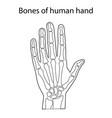 human hand skeletal anatomy vector image vector image
