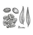 ink sketch of pecan vector image vector image
