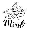 sketch mint leaves vector image