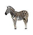 zebra from a splash watercolor colored drawing vector image vector image