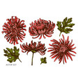 set hand drawn colored aster vector image