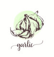 garlic sketch on watercolor paint hand drawn ink vector image