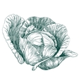 cabbage vegetable hand drawn llustration vector image vector image