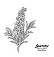 lavender branch with leaves and flowers isolated vector image