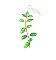 marjoram herb spice isolated on white background vector image vector image