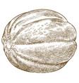 engraving antique ethiopian melon vector image