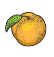 peach fruit sketch vector image