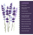 lavender isolated on white background vector image vector image