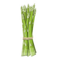 asparagus vegetable stem isolated on white vector image vector image