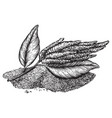 drawings amaranth flowering plants and seeds