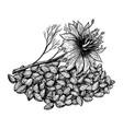 cumin or nigella sativa plant and seeds hand vector image