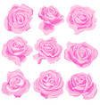 drawing pink roses flowers vector image