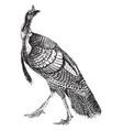 turkey vintage vector image vector image