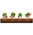 Strawberry plants in the farm vector image