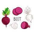 beet isolated on white background vector image vector image
