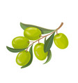 olive fruits and leaves on a branch isolated vector image vector image