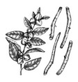 ashwagandha medicinal plant and roots vector image