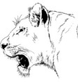 roaring forward lion drawn in full growth vector image vector image