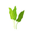flat icon of fresh garden sorrel bright vector image vector image