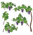 grape bush vector image