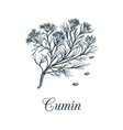 cumin with seeds culinary vector image