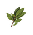 bay leaf branch isolated on white vector image