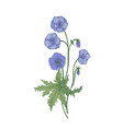meadow geranium or cranes-bill flowers isolated on vector image vector image