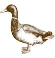 engraving antique mallard duck vector image vector image