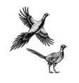 hand drawn pheasant skethes of birds vector image vector image