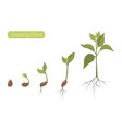 plant growth phases stages flat vector image vector image
