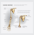 arm and hand bone vector image
