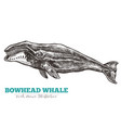 hand drawn bowhead whale vector image vector image