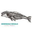 hand drawn bowhead whale vector image