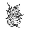 peach sketch engraving vector image vector image