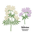 hand drawn valerian branches isolated on white vector image