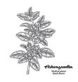 hand drawn ashwagandha medical plant isolated on vector image vector image