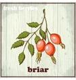 Hand drawing of briar Fresh berries vector image vector image