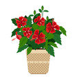 hibiscus house plant in flower pot vector image vector image