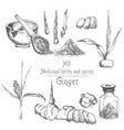 set hand drawn of ginger roots lives and flowers vector image