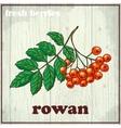 Hand drawing of rowan Fresh berries vector image vector image