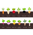 collection of various growing root vegetables vector image