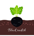 black radish icon with title vector image