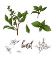 hand drawn basil herb decorative element in vector image