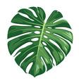 monstera deliciosa leaf realistic design vector image