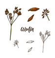hand drawn cumin herb decorative element in vector image