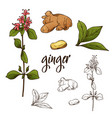 detailed retro image of ginger ink sketch vector image