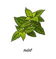flat cartoon sketch hand drawn mint leaves vector image