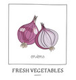 hand drawn of isolated onions vector image