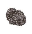 hand drawn black truffle mushroom vector image