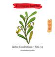 medicinal herbs of china noble dendrobium vector image vector image